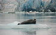 bearded seal, arctic-travels.com