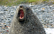 South Georgia, fur seal,arctic-travels.com