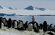 Felsenpinguine, arctic-travels.com